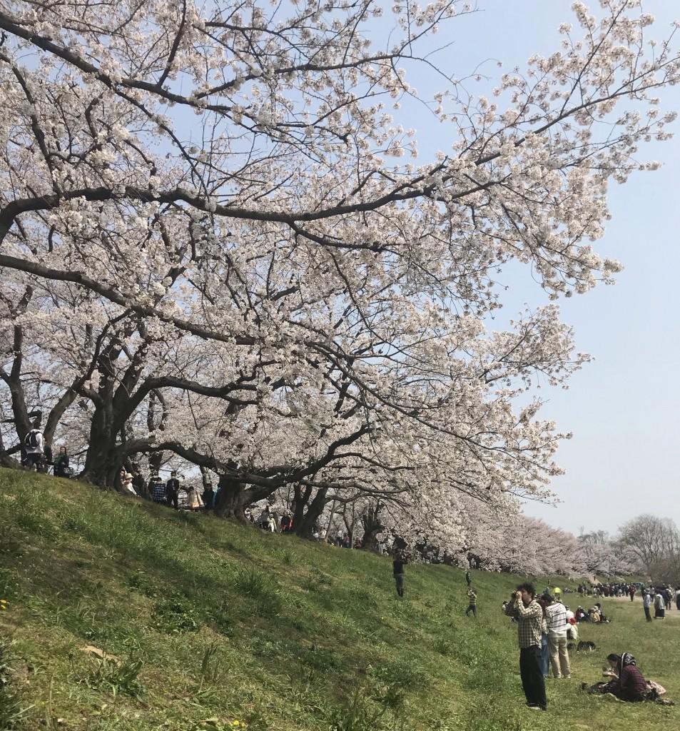 京都にある桜並木の穴場